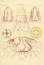 Periphylla hyacinthina from Haeckel (1880)