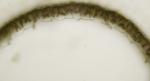Chylocladia verticillata