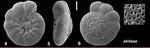 Ammonia akitaae Hayward, Frenzel and Holzmann, 2021 Holotype