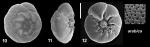 Ammonia arabica Kaushik, 2021 Holotype