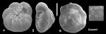 Ammonia buzasi Hayward and Holzmann, 2021 Holotype