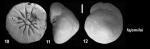 Ammonia fajemilai Hayward and Holzmann, 2021 Holotype