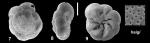 Ammonia haigi Hayward and Holzmann, 2021 Holotype