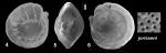 Ammonia jorisseni Hayward, Holzmann and Renjaan, 2021 Holotype