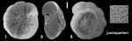 Ammonia justinparkeri Hayward and Holzmann, 2021 Holotype