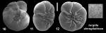 Ammonia turgida almogilabinae Hayward and Holzmann, 2021 Holotype