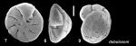 Pseudoeponides dubuissoni Baccaert, 2021 Holotype