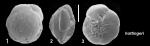 Pseudoeponides hottingeri Hayward and Holzmann, 2021 Holotype