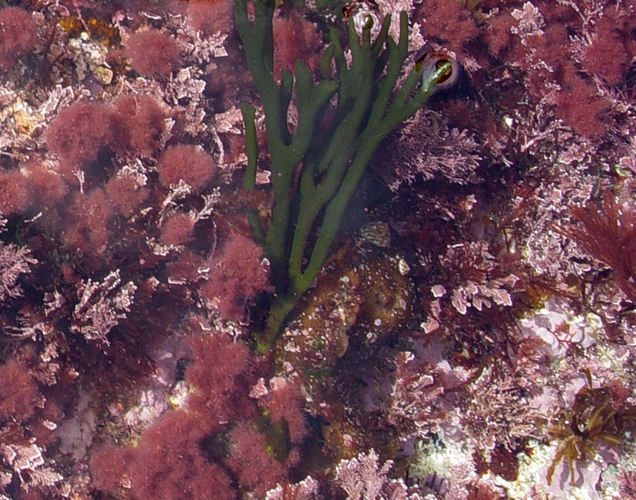 Falkenbergia rufolanosa