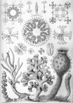 Hexactinellida Haeckel