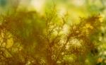 Gloiosiphonia capillaris