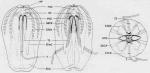Haeckelia_bimaculata from original description