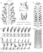 Laonice grimaldi Sikorsky et al, text figures