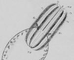 Euplokamis_stationis original illustration from Chun (1879)