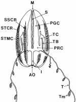 Euplokamis_dunlapae original description illustration from Mills (1987)