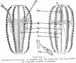 Euplokamis_helicoides holotype as Pleurobrachia_helicoides in Ralph & Kaberry (1950)