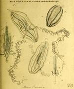 Hormiphora_cucumis_Holotype_as_Beroe_cucumis in Mertens (1833)