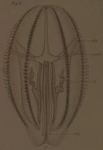 Hormiphora palmata Adult Holotype
