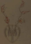 Hormiphora palmata Juvenile Type Material, assigned to Hormiphora hormiphora by Bigelow, 1912