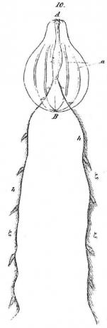 Hormiphora hormiphora holotype sketch in Gegenbaur (1856) as Cydippe hormiphora
