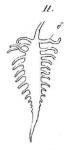 Tentillum of Hormiphora hormiphora holotype