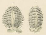 Pleurobrachia_pigmentata_Holotype