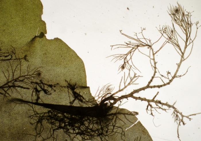 Heterosiphonia japonica