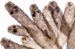 Laurencia pyramidalis