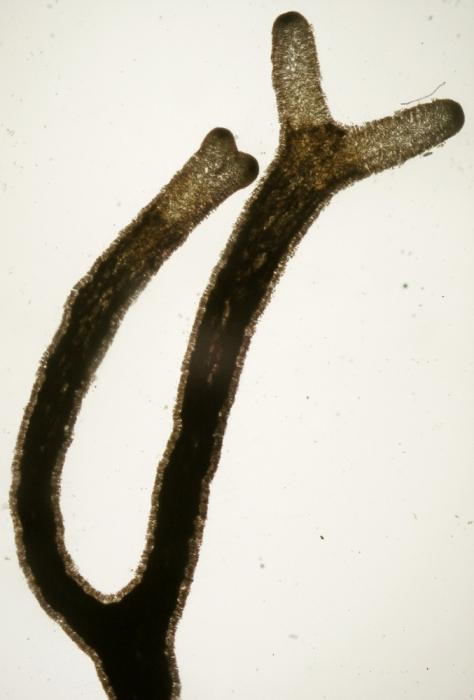 Liagora viscida