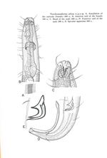 Acantholaimus pilosus (Kreis, 1963) Hope & Murphy, 1972