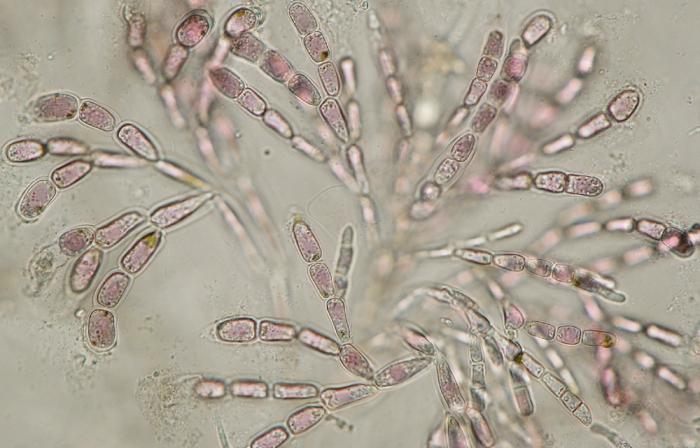 Nemalion helminthoides