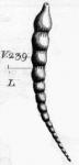 Nodosaria (Dentaline) aciculata d'Orbigny, 1826