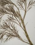 Polysiphonia brodiaei