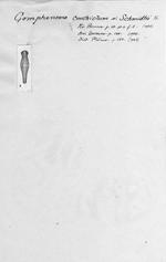 Gomphonema constrictum var. schmidtii