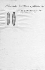 Navicula brasiliana var. platensis