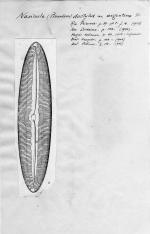 Navicula dactylus var. argentina