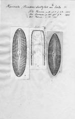 Navicula dactylus var. lata