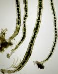 Chaetomorpha aerea