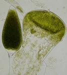 Codium fragile tomentosoides