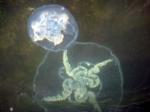 Oorkwal Aurelia aurita