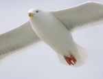 VLIZ website: Ocean life: Seabirds