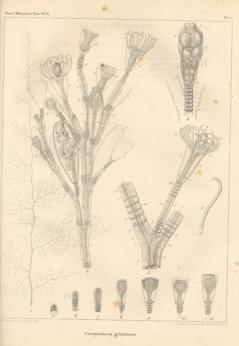 Van Beneden (1844, pl. 1)