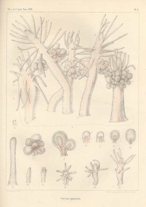 Van Beneden (1844, pl. 5)