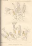 Van Beneden (1845, pl. 2)