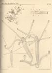 Van Beneden (1867, pl. 08)