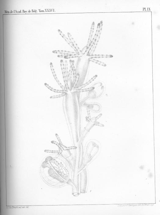 Van Beneden, 1867: pl. 9