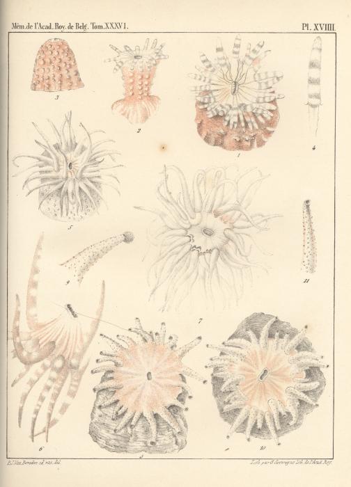 Van Beneden (1867, pl. 19)