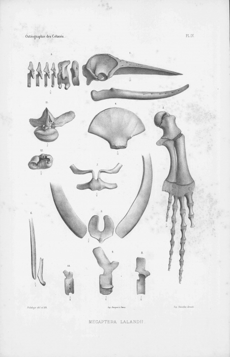 Van Beneden & Gervais (1880, pl. 09)