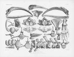 Van Beneden & Gervais (1880, pl. 04 & 05)