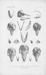 Van Beneden & Gervais (1880, pl. 64)